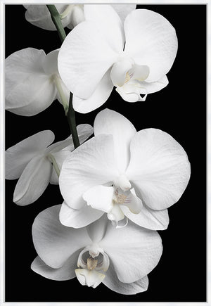 Orchid Bliss #2 Canvas