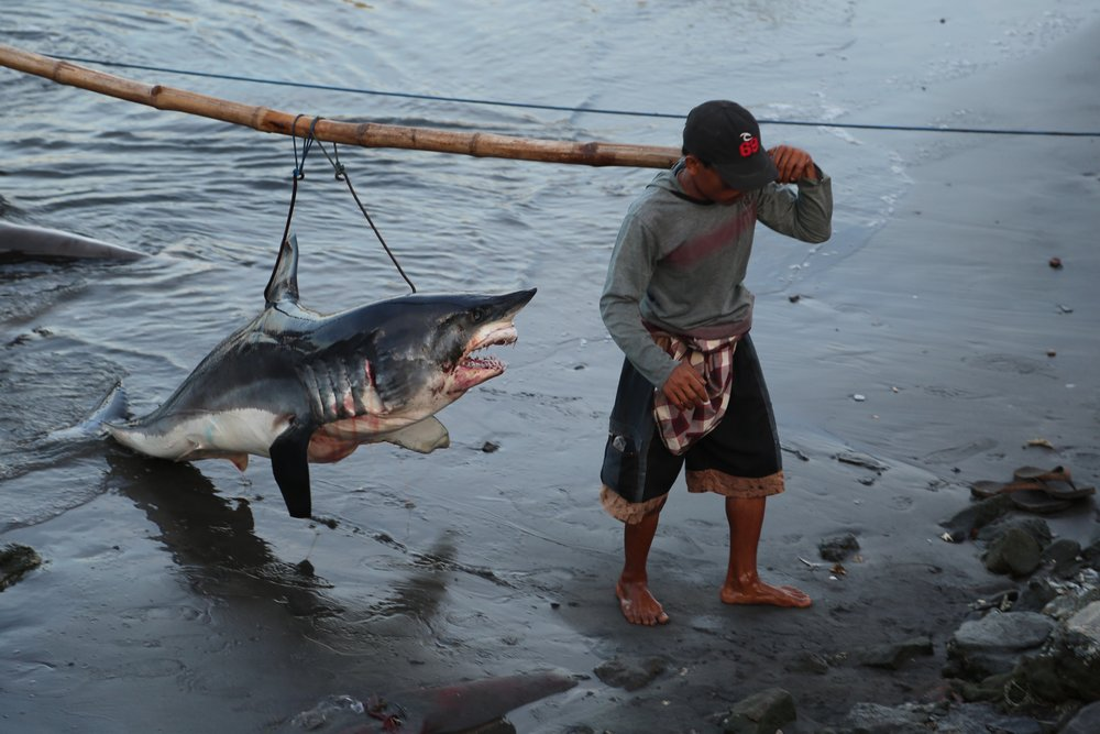 A shark killed for it's fins, being hauled by fishermen to the market - a scene from environmental documentary Blue