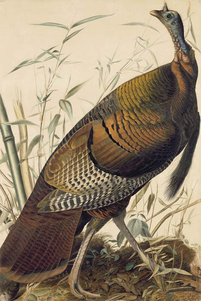 Wild Turkey, Havell pl. 1