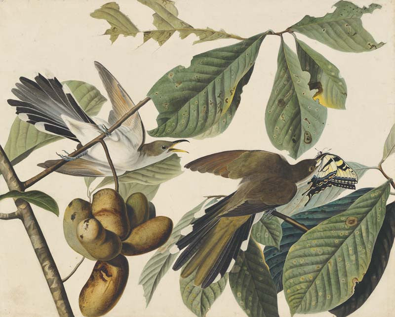 Yellow-billed Cuckoo, Havell pl. 2