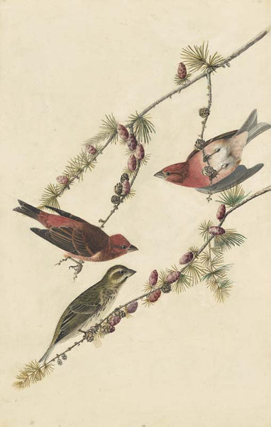 Purple Finch, Havell pl. 4