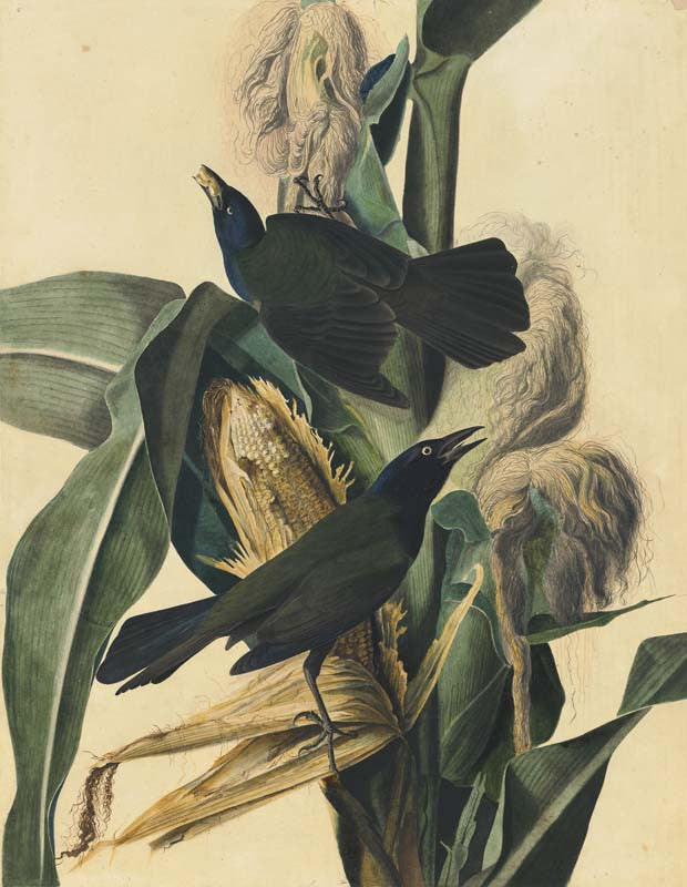 Common Grackle, Havell pl. 7