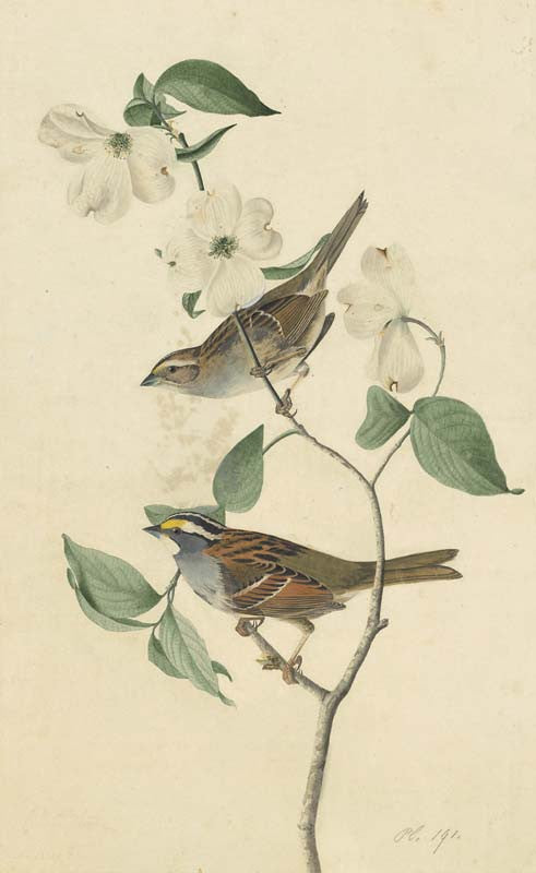 White-throated Sparrow, Havell pl. 8