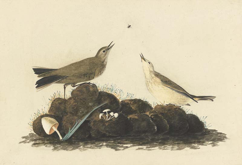 American Pipit, Havell pl. 10