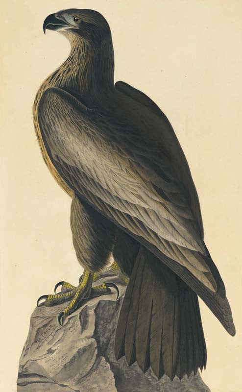 Bald Eagle, Havell pl. 11