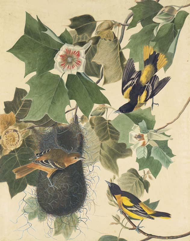 Baltimore Oriole, Havell pl. 12