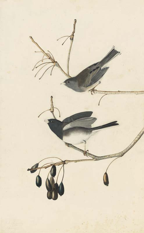 Dark-eyed Junco, Havell pl. 13