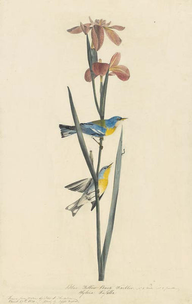 Northern Parula, Havell pl. 15