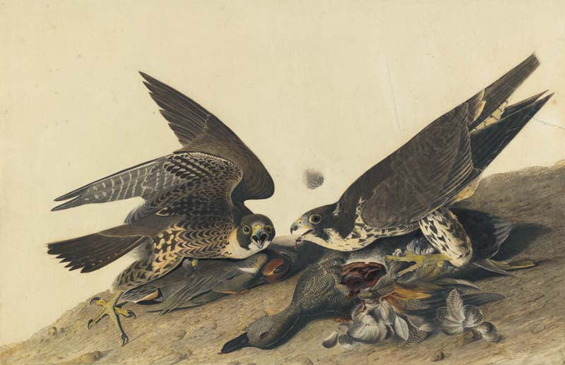 Peregrine Falcon, Havell pl. 16