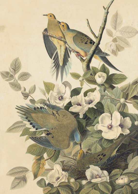Mourning Dove, Havell pl. 17