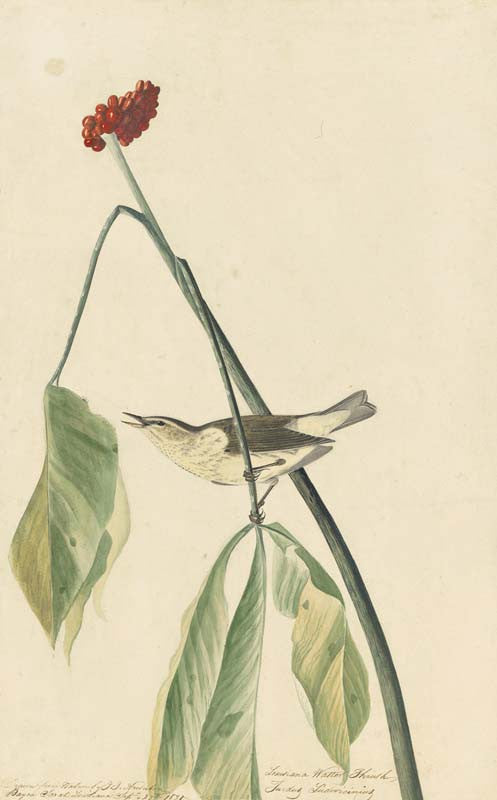Louisiana Waterthrush, Havell pl. 19