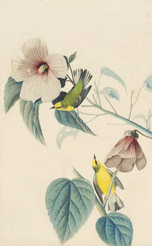 Blue-winged Warbler, Havell pl. 20
