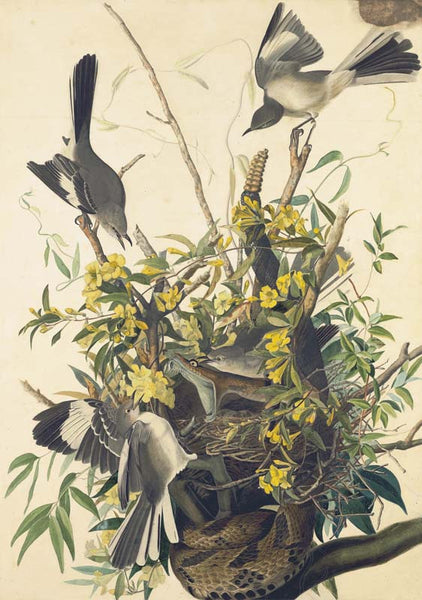 Northern Mockingbird, Havell pl. 21
