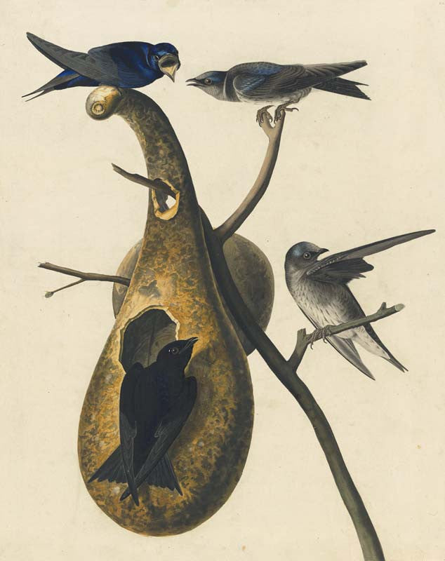 Purple Martin, Havell pl. 22