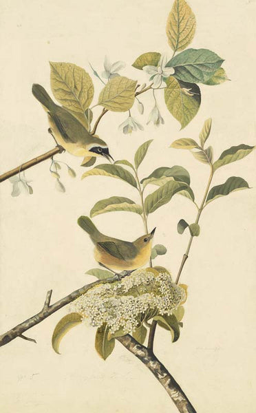 Common Yellowthroat, Havell pl. 23