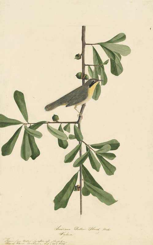 Common Yellowthroat, Havell pl. 24