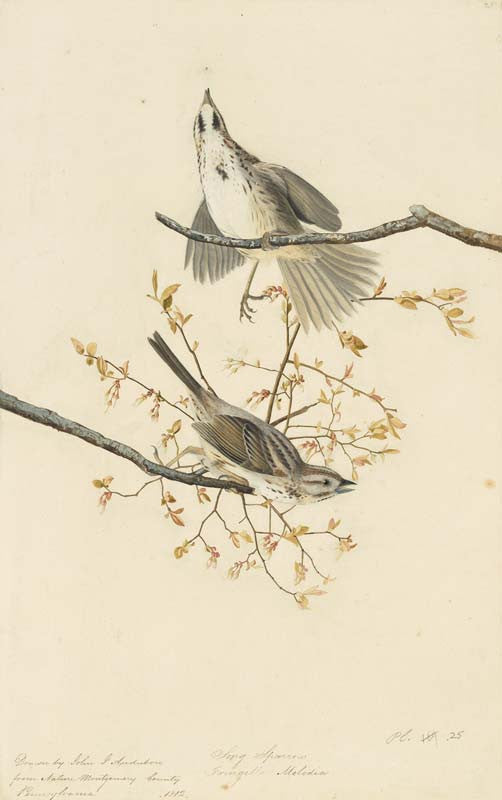 Song Sparrow, Havell pl. 25