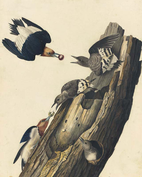 Red-headed Woodpecker, Havell pl. 27