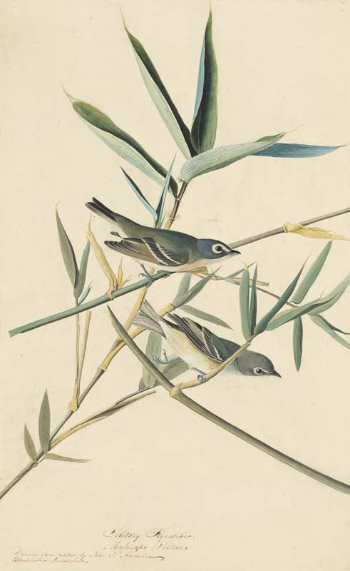 Blue-headed Vireo, Havell pl. 28