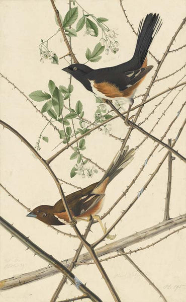Eastern Towhee, Havell pl. 29