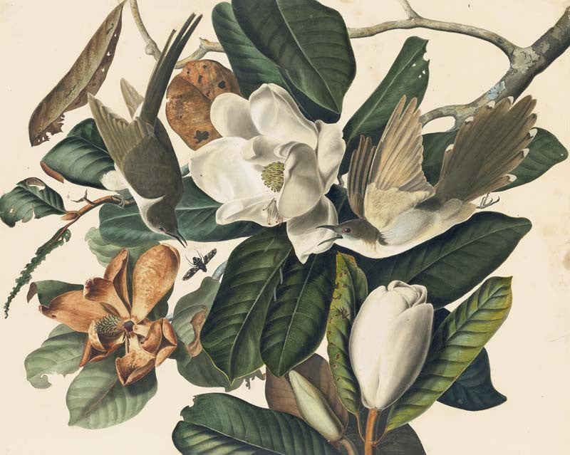 Black-billed Cuckoo, Havell pl. 32