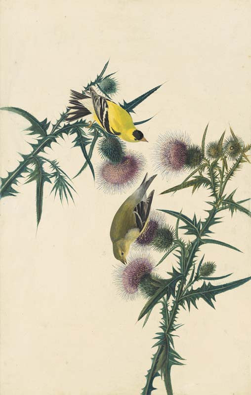 American Goldfinch, Havell pl. 33