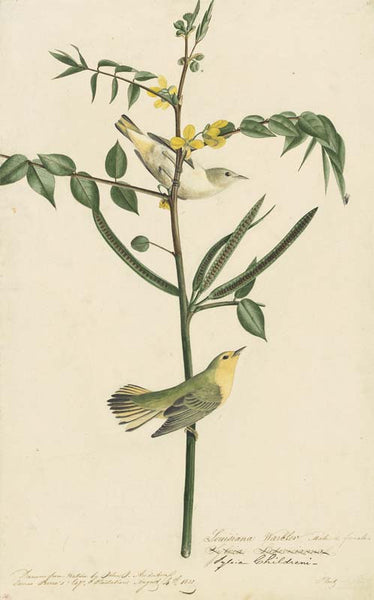 Yellow Warbler, Havell pl. 35
