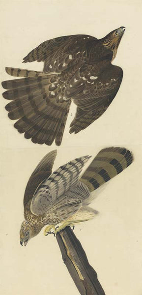 Cooper's Hawk, Havell pl. 36