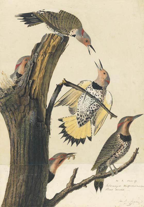 Northern Flicker, Havell pl. 37