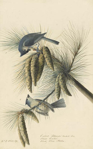 Tufted Titmouse, Havell pl. 39