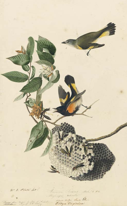 American Redstart, Havell pl. 40