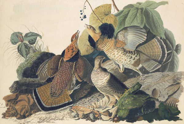 Ruffed Grouse, Havell pl. 41