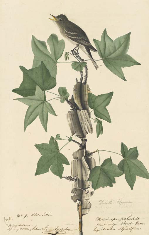 Willow Flycatcher, Havell pl. 45