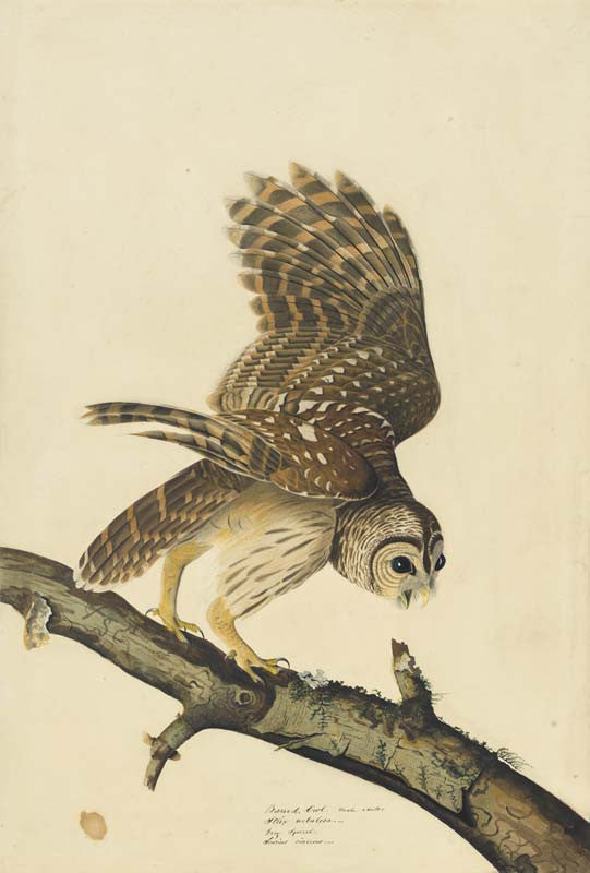 Barred Owl, Havell pl. 46