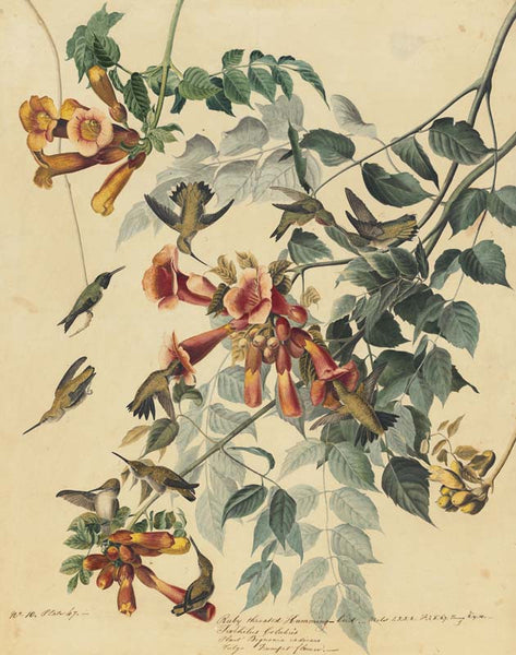 Ruby-throated Hummingbird, Havell pl. 47