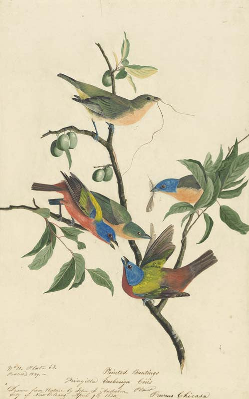 Painted Bunting, Havell pl. 53