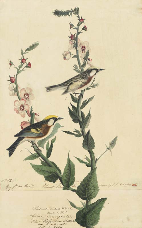 Chestnut-sided Warbler, Havell pl. 59