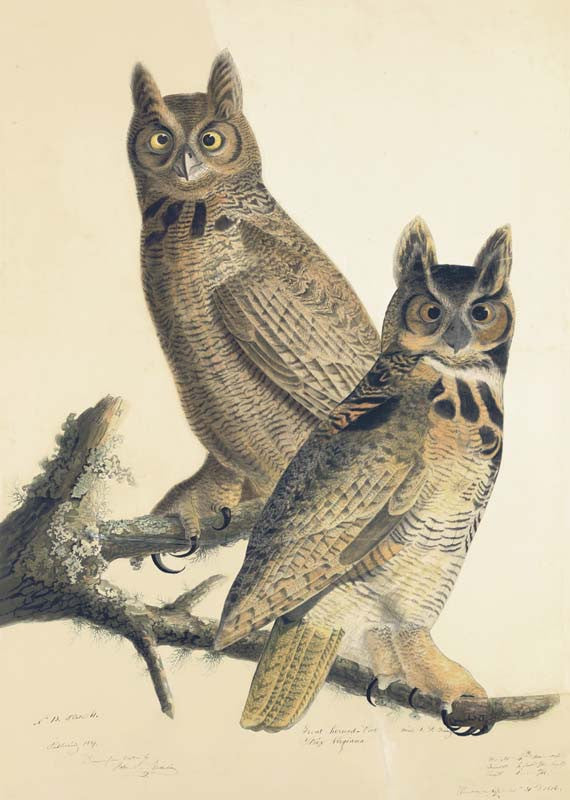 Great Horned Owl, Havell pl. 61