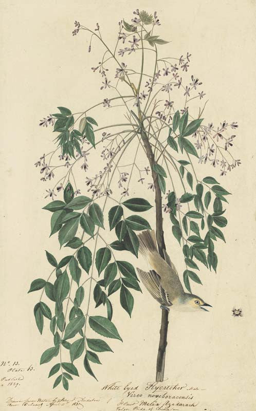 White-eyed Vireo, Havell pl. 63