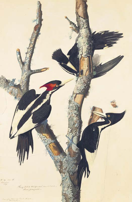 Ivory-billed Woodpecker, Havell pl. 66