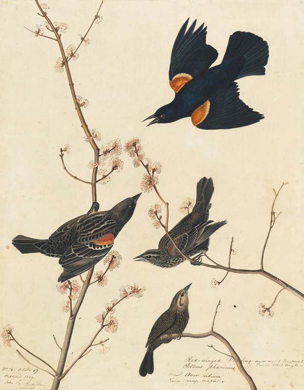 Red-winged Blackbird, Havell pl. 67