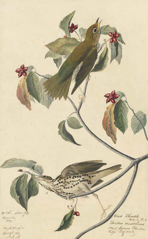 Wood Thrush, Havell pl. 73