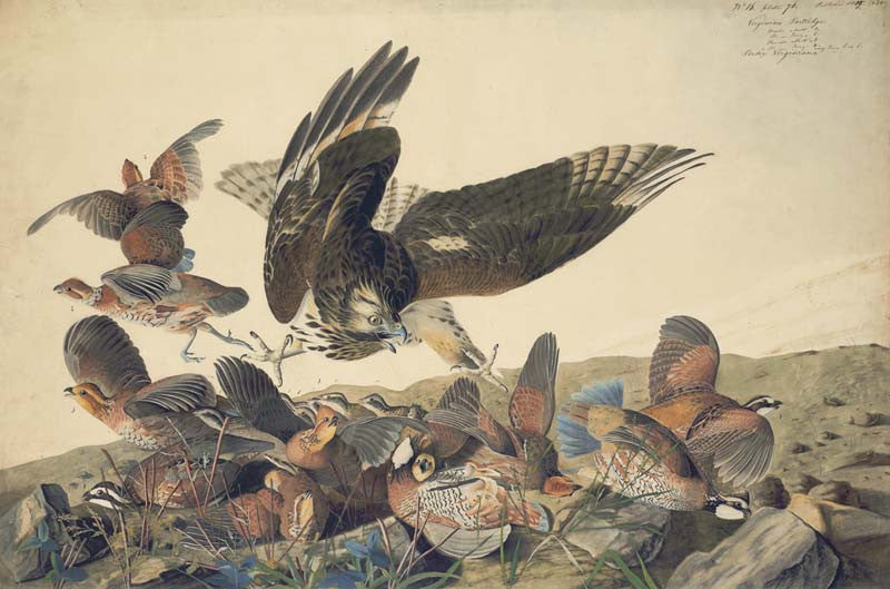 Northern Bobwhite and Red-shouldered Hawk, Havell pl. 76