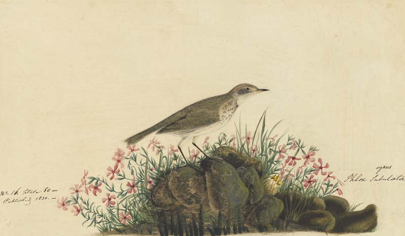 American Pipit, Havell pl. 80