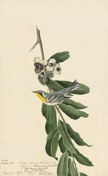 Yellow-throated Warbler, Havell pl. 85