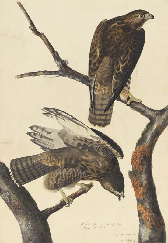 Harlan's Red-tailed Hawk, Havell pl. 86