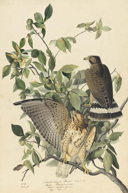 Broad-winged Hawk, Havell pl. 91