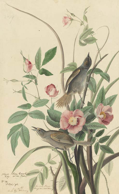 Seaside Sparrow, Havell pl. 93