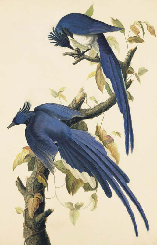 Black-throated Magpie-Jay, Havell pl. 96