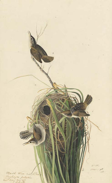 Marsh Wren, Havell pl. 100